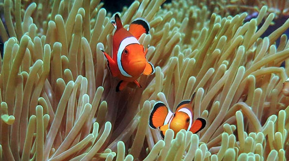 Clown fish at Anemone Reef dive site in Phuket, Thailand.