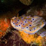 nudibranche Bida Nok site plongee phiphi
