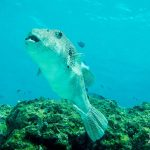 poisson coffre plongée a Racha Yai