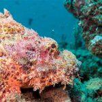 poisson scorpion Racha Yai plongée