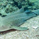 plongée avec requin leopard Bida nok