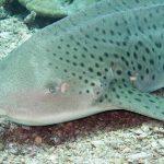 requin leopard phiphi plongée