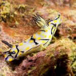 nudibranch plongee king cruiser