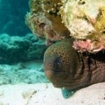 giant moray eel diving phuket