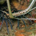 Lobster diving phiphi Thailand