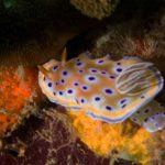 nudibranch bida nok phiphi scuba