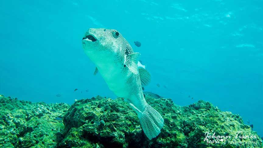 Puffer fish racha yai