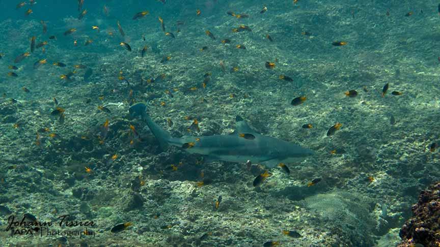 shark diving phuket