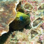 yellow moray eel racha yai