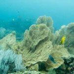 gorgone Shark point plongée Phuket
