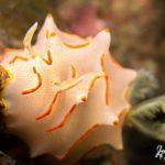 nudibranch plonger a Phuket